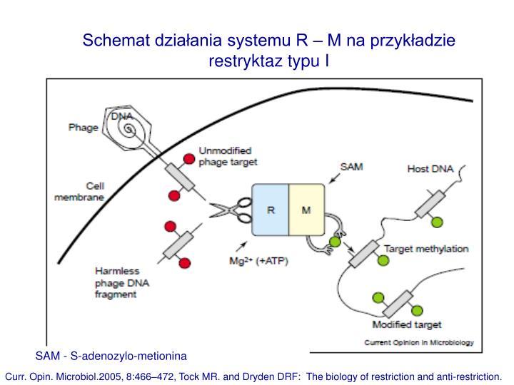 Schemat działania systemu R – M na przykładzie restryktaz typu I