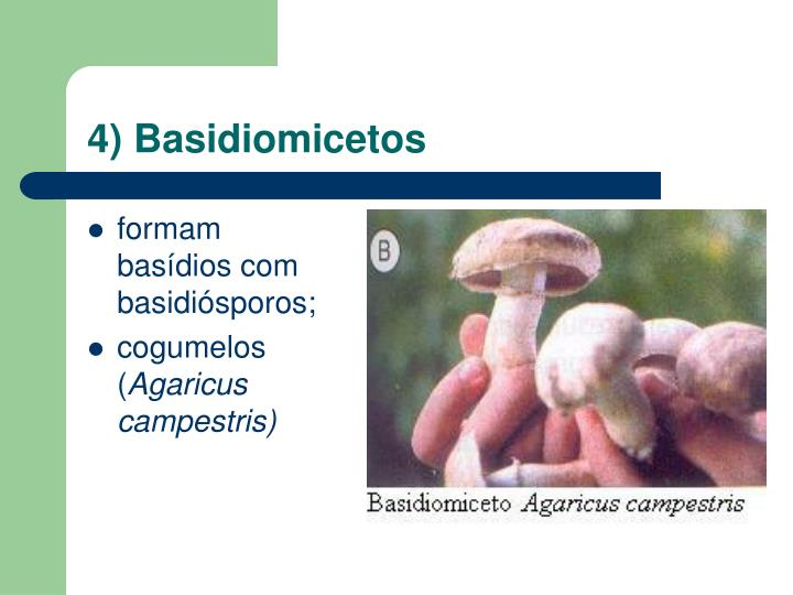 4) Basidiomicetos