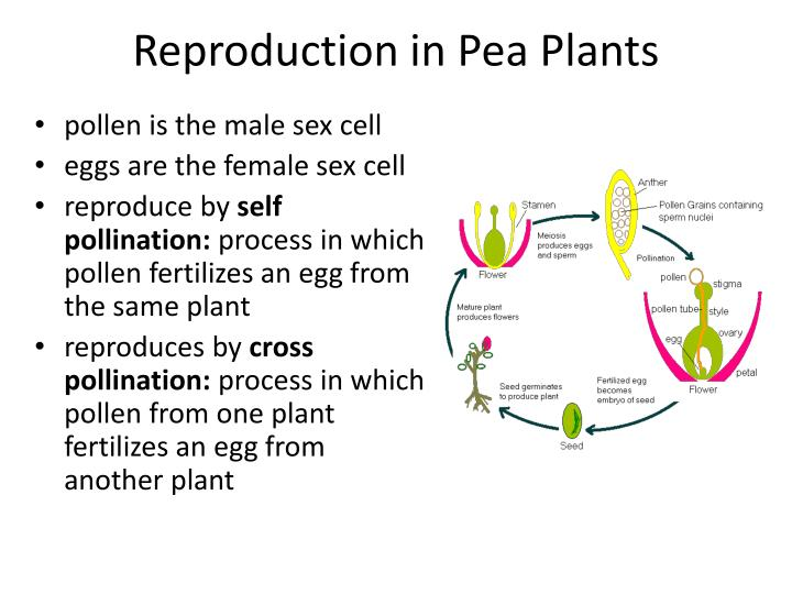 Reproduction in Pea Plants