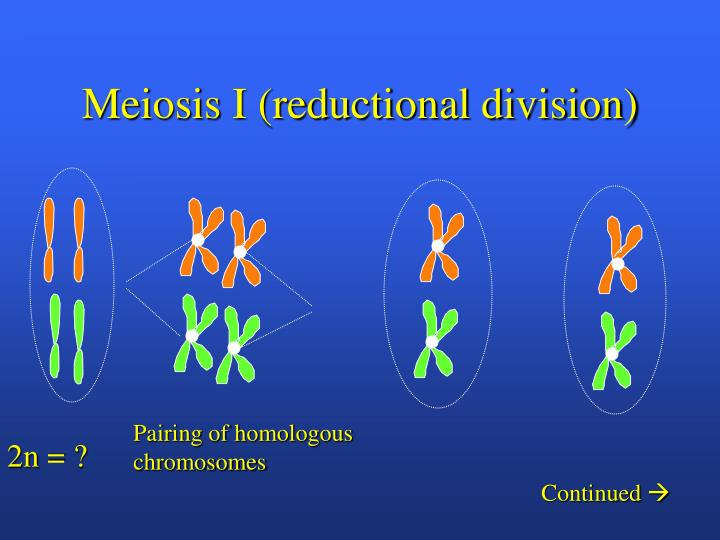 Meiosis I (reductional division)