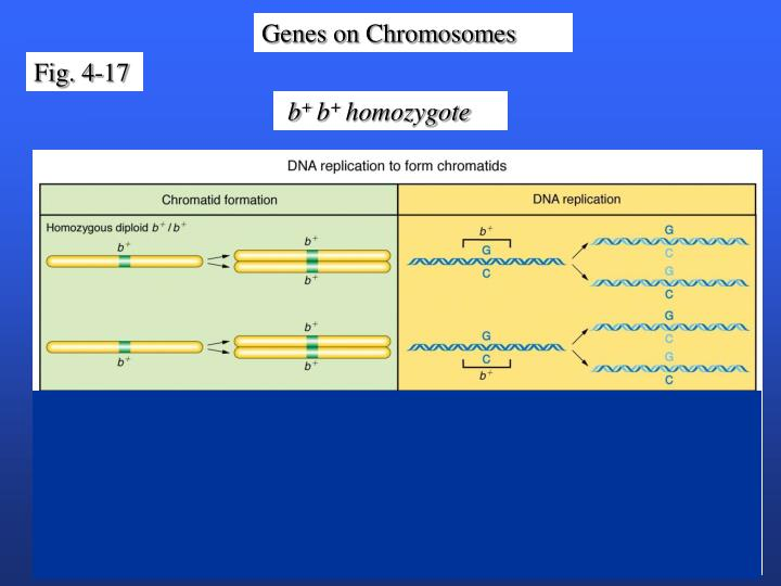 Genes on Chromosomes