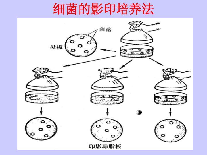 细菌的影印培养法