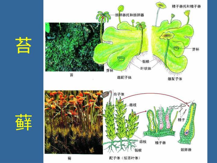 苔             藓