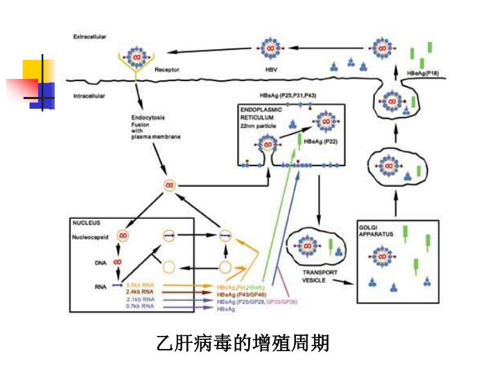 乙肝病毒的增殖周期