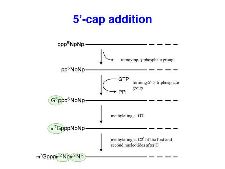 5'-cap addition