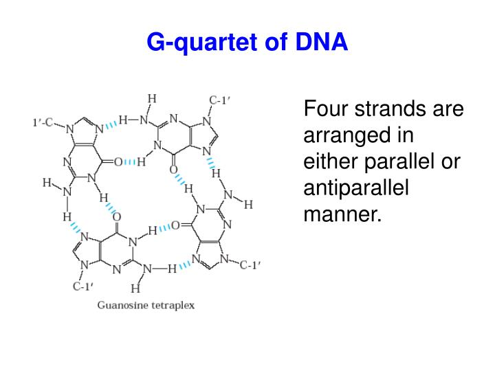 G-quartet of DNA
