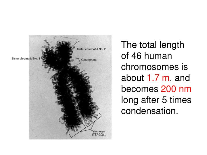The total length of 46 human chromosomes is about