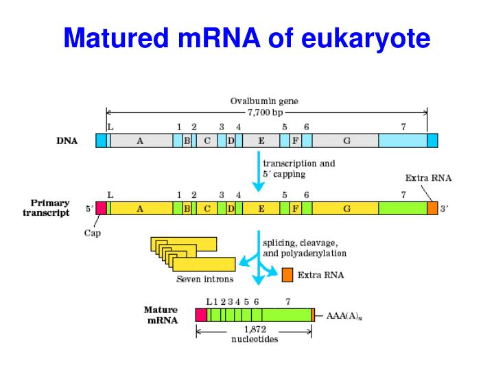 Matured mRNA of e