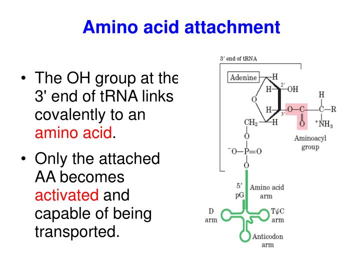 Amino acid attachment