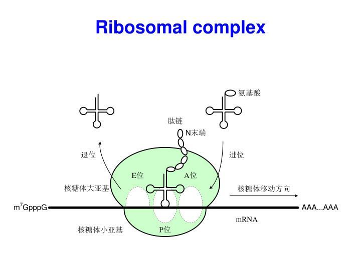 Ribosomal complex