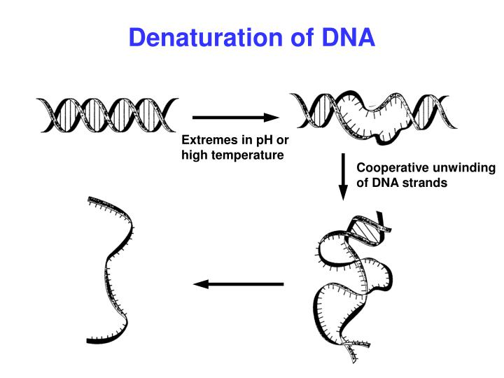 Denaturation of DNA
