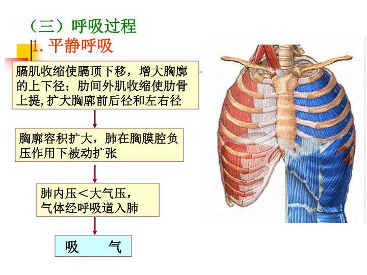 (三)呼吸过程