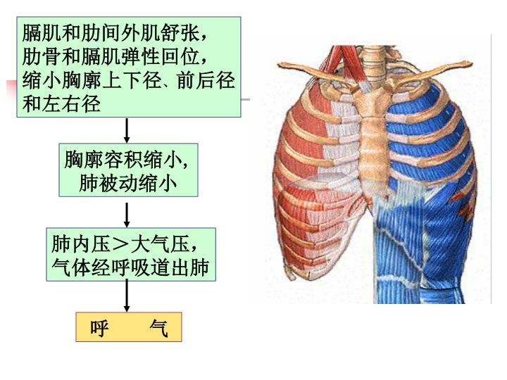膈肌和肋间外肌舒张,