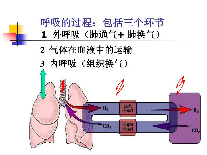 呼吸的过程:包括三个环节