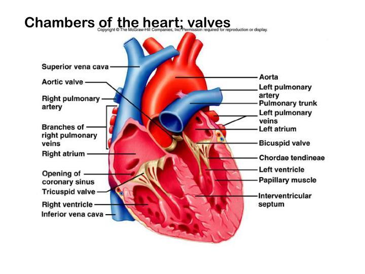 Heart internal anatomy