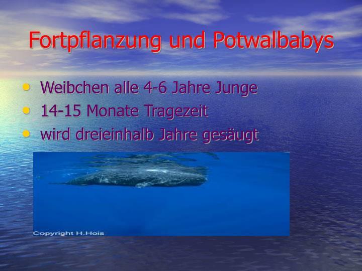 Fortpflanzung und Potwalbabys