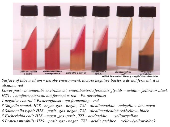 Surface of tube medium – aerobe environment, lactose negative bacteria do not ferment, it is alkaline, red                                                                                                                                                    Lower part - in anaerobe environment, enterobacteria ferments glycids – acidic – yellow or black H2S .  , nonfermenters do not ferment = red – Ps. aeruginosa                                                                                                                                                                            1 negative control 2 Ps.aeruginosa : not fermenting - red                                                                                              3 Shigella sonnei: H2S - negat.,gas – negat.,  TSI – alcaline/acidic   red/yellow  lact.negat                                                        4 Salmonella typhi: H2S – pozit., gas–negat., TSI – alcaline/alcaline red/yellow- black                                                       5 Escherichia coli: H2S – negat.,gas -posit., TSI – acid/acidic       yellow/yellow                                                               6 Proteus mirabilis: H2S – posit, gas - negat., TSI – acidic /acidice     yellow/yellow-black