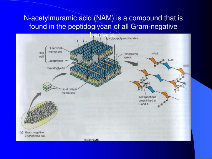 N-acetylmuramic acid (NAM) is a compound that is found in the peptidoglycan of all Gram-negative bacteria.
