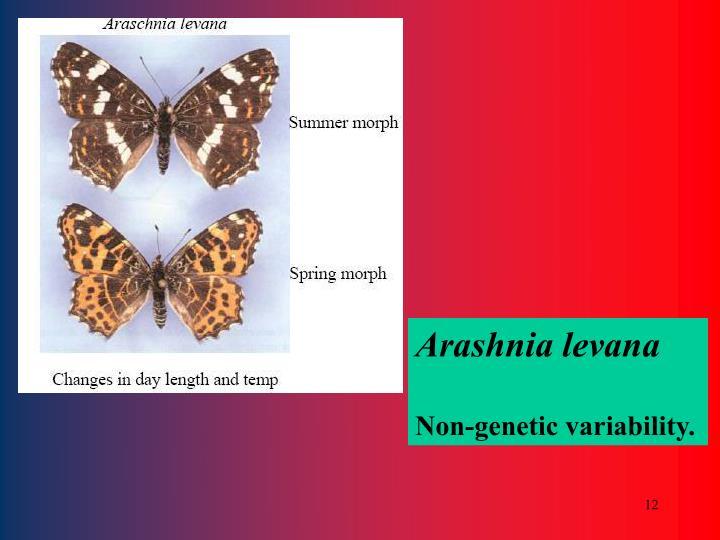 Arashnia levana