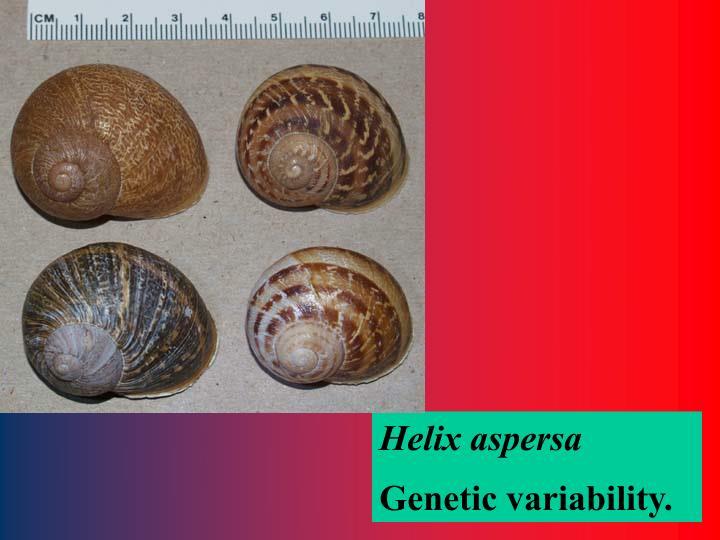 Helix aspersa
