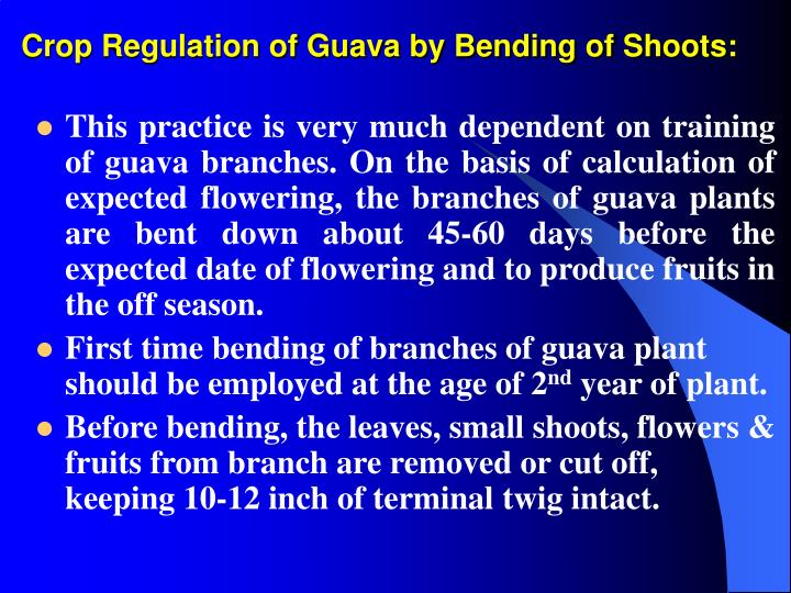 Crop regulation of guava by bending of shoots