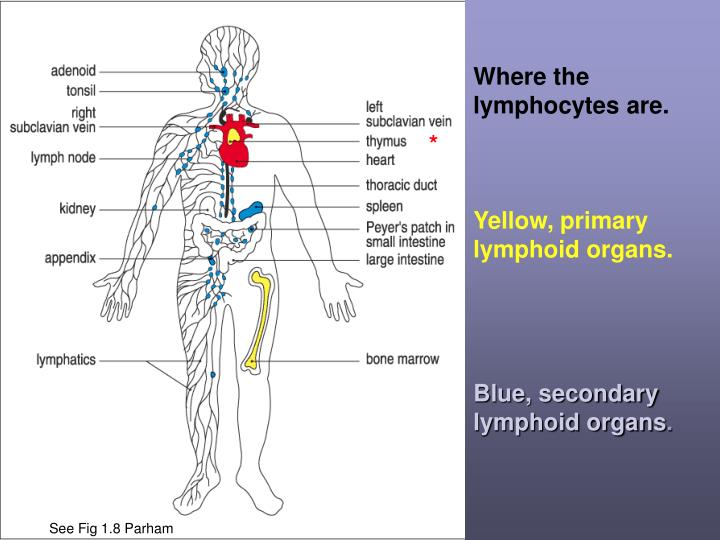Where the lymphocytes are.