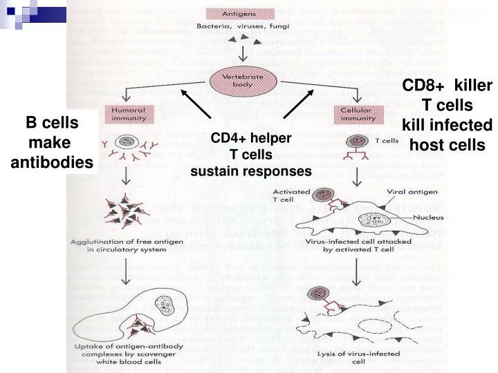 CD8+  killer