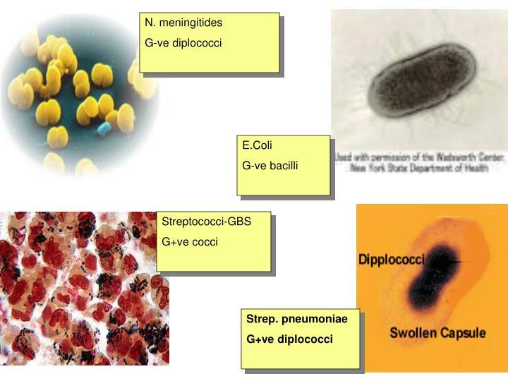N. meningitides