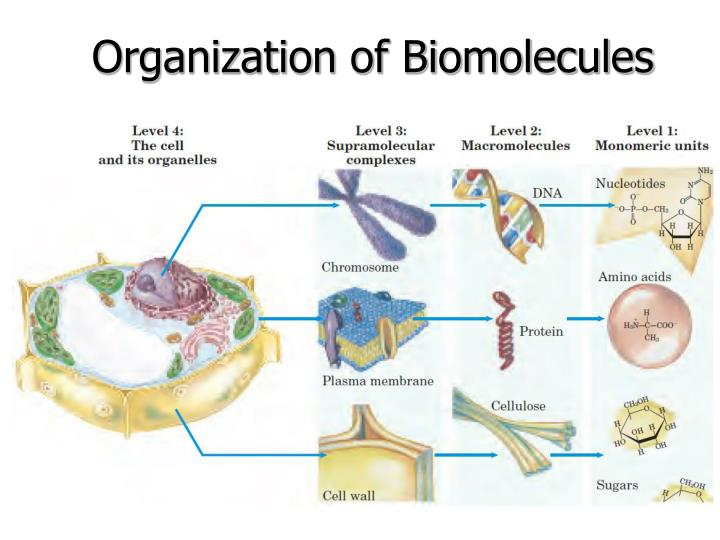 Organization of Biomolecules