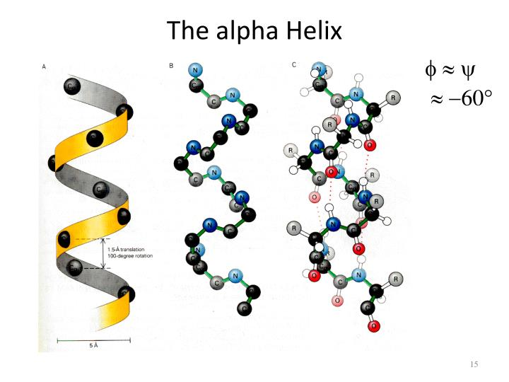 The alpha Helix