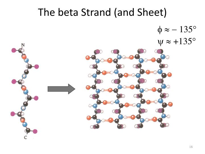 The beta Strand (and Sheet)
