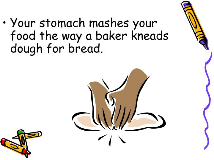 Your stomach mashes your food the way a baker kneads dough for bread.