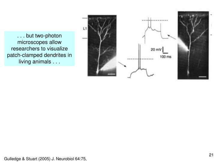 . . . but two-photon microscopes allow researchers to visualize patch-clamped dendrites in living animals . . .