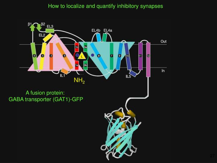 How to localize and quantify inhibitory synapses