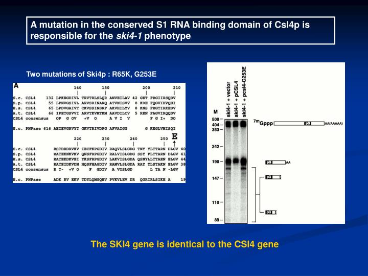 A mutation in the conserved S1 RNA binding domain of Csl4p is responsible for the