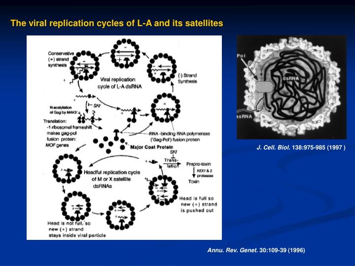 The viral replication cycles of L-A and its satellites