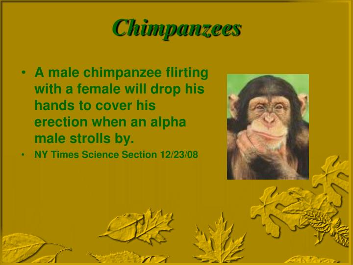 A male chimpanzee flirting with a female will drop his hands to cover his erection when an alpha male strolls by.