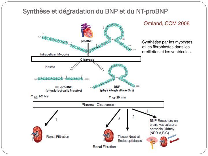 Synthèse et dégradation du BNP et du NT-proBNP