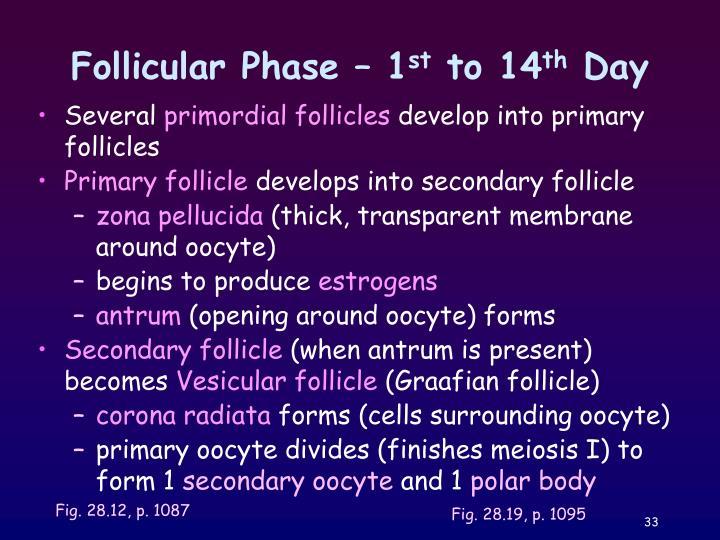 Follicular Phase – 1