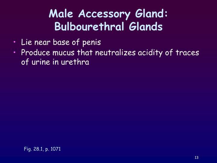 Male Accessory Gland: