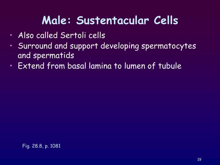 Male: Sustentacular Cells