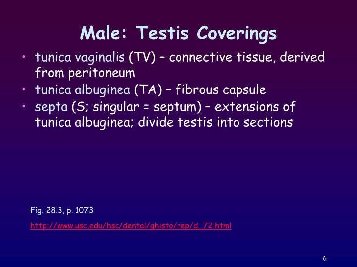 Male: Testis Coverings