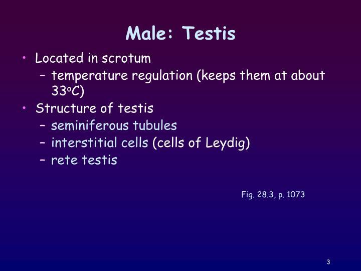 Male: Testis