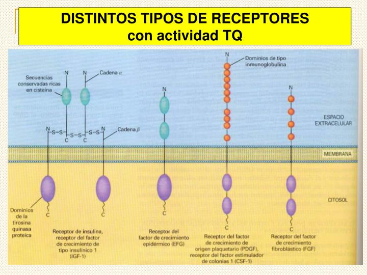 DISTINTOS TIPOS DE RECEPTORES