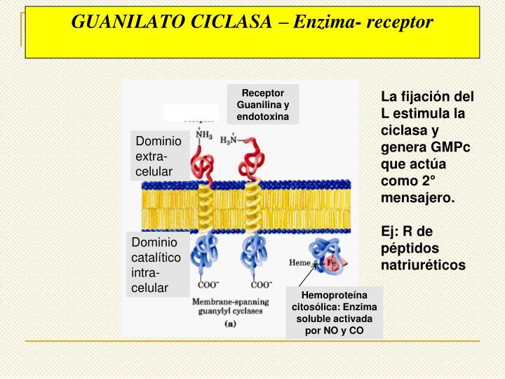 GUANILATO CICLASA – Enzima- receptor