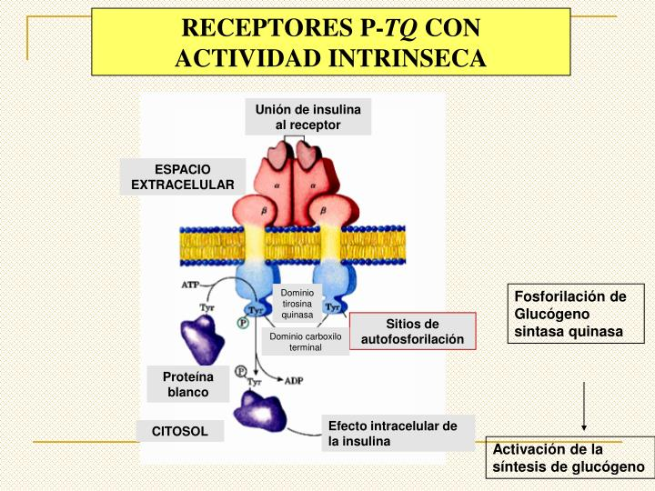 Unión de insulina al receptor
