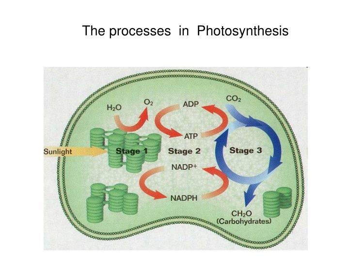 The processes  in  Photosynthesis