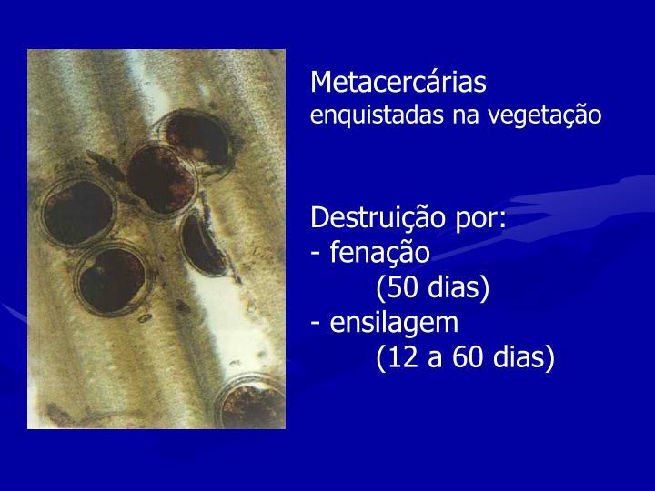 Metacercárias