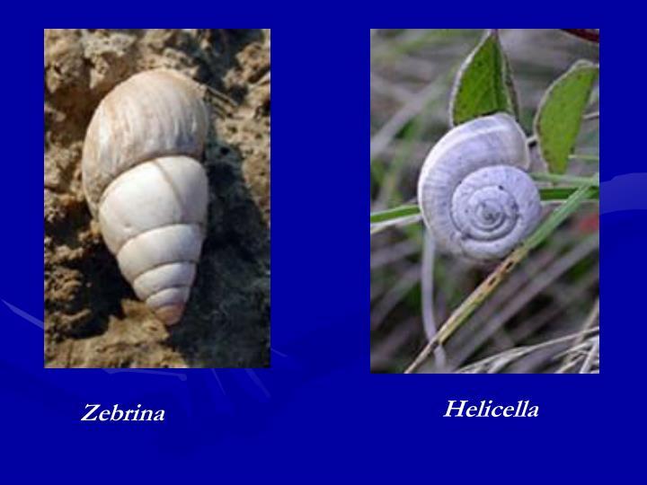 Helicella