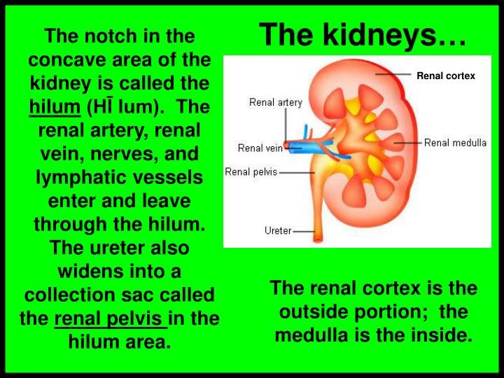 The kidneys…